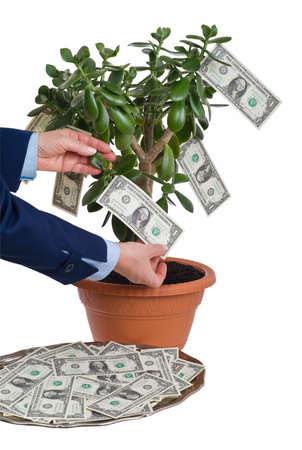 hand tree: Earning profit. Hands gathering dollar bills on jade tree (Crassula ovata).