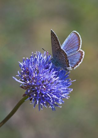 Blue butterfly gathering nectar on blue flower Stock Photo - 2331300