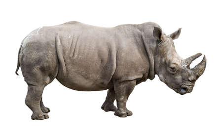 rhinoceros: White rhino (Ceratotherium simum)