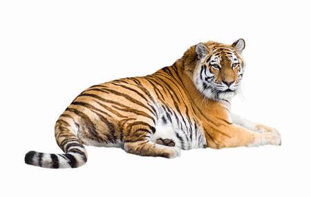 Siberian tiger lying isolated on white photo