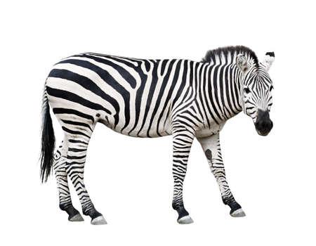 Common plane zebra isolated on white background Stock Photo - 2913724