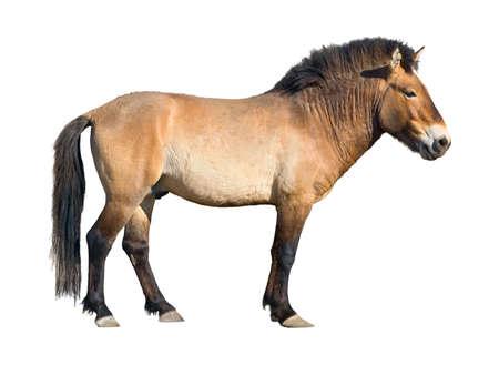 an ungulate: Przewalski's cavallo (Equus caballus) isolati su bianco con percorso di clipping  Archivio Fotografico