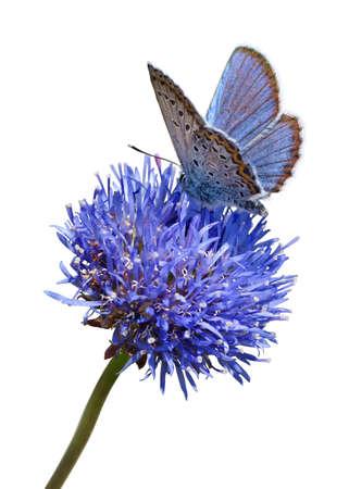 mariposa azul: Mariposa en la flor azul sobre fondo blanco aisladas