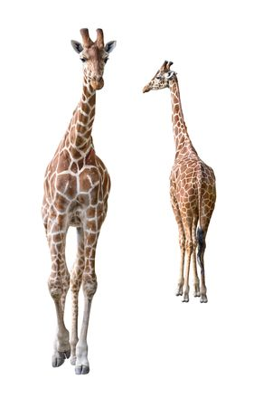 Somali Giraffe young couple isolated on white background photo
