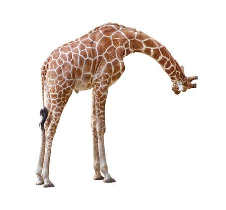 Giraffe curiosity pose isolated on white background photo