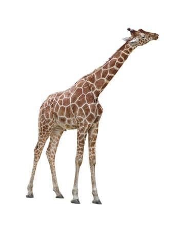 jirafa: Jirafa besar plantean aisladas sobre fondo blanco