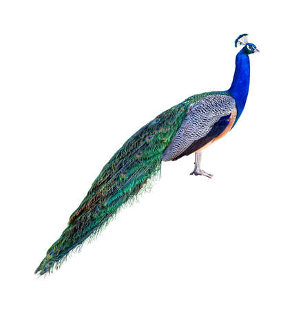 Peacock full length profile isolated on white background