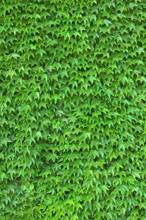 Dense ivy on wall fresh green leaves texture background photo