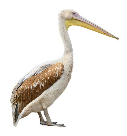side pose: Pelican bird side view