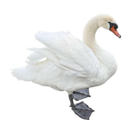 cisnes: Vista lateral de blancos silencio de cisne (Cygnus olor) stand aislado sobre fondo blanco