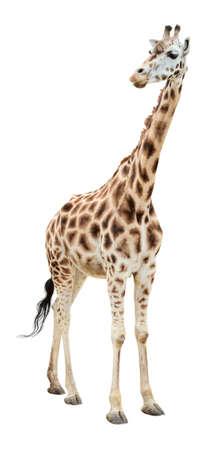 jirafa: Jirafa medio giro aspecto aislado sobre fondo de blanco  Foto de archivo