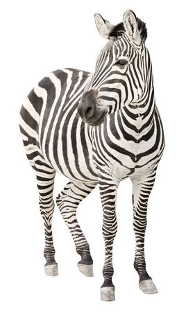 Zebra pregnant two days before foal birth front view looking isolated on white background photo