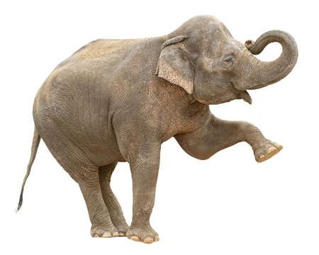 elefante: Hembra de elefante asiático, haciendo la postura con la pierna y el tronco hasta aislado sobre fondo blanco