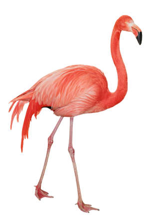 American or Caribbean Flamingo isolated on white background