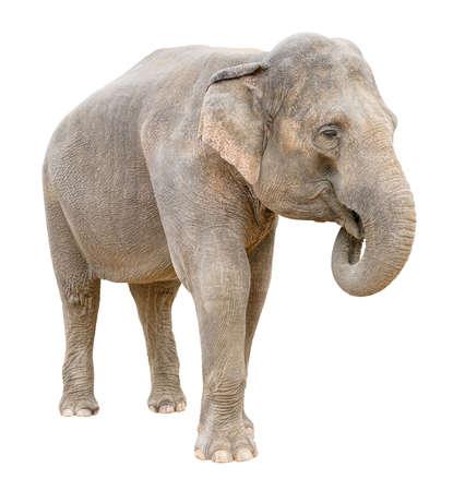 Asian elephant female telling secret isolated on white background