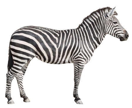white  background: Plain Burchells Zebra female standing side view on white background