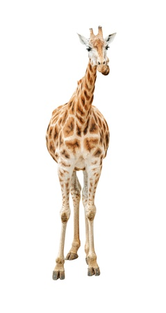 full length herbivore: Giraffe looking front view isolated on white background