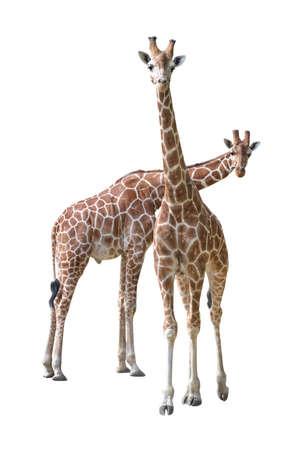 jirafa fondo blanco: Par de j�venes jirafa aisladas sobre fondo blanco
