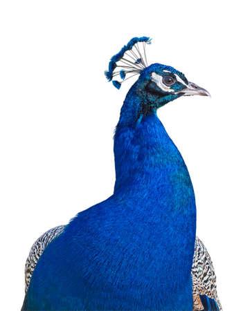 piuma bianca: Peacock closeup isolato su sfondo bianco