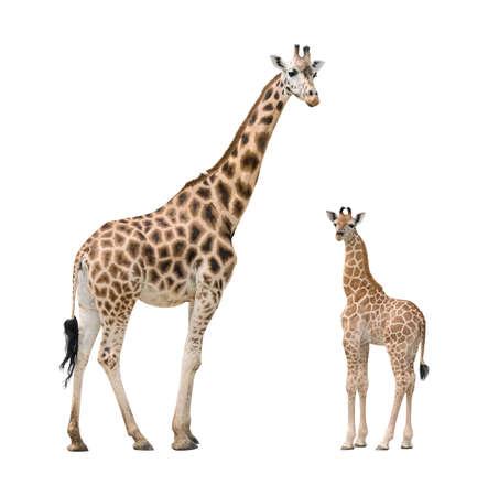jirafa fondo blanco: Jirafa madre y el beb� aislado en el fondo blanco