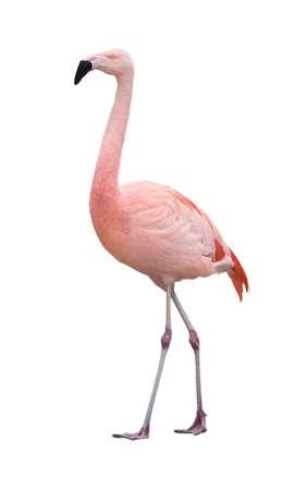 phoenicopterus: Chilean Flamingo bird (Phoenicopterus chilensis) walking left isolated on white background