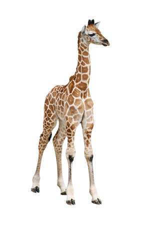 isolated spot: Giraffe calf on white
