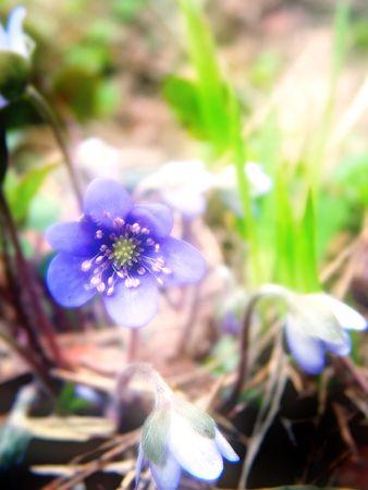 Violet flower, dream tone