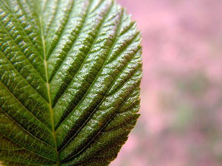 New spring leaf, macro