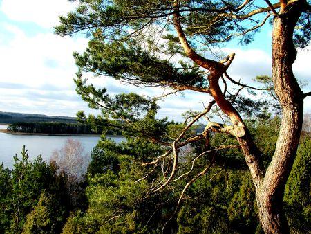A pine in river landscape