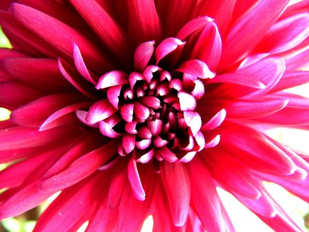 Chrysanthemum, stylish image