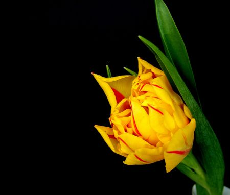 Tulip in night Stock Photo