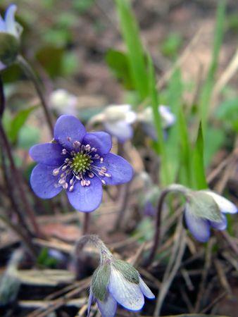 Violet spring flower