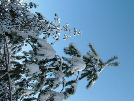 fir in winter
