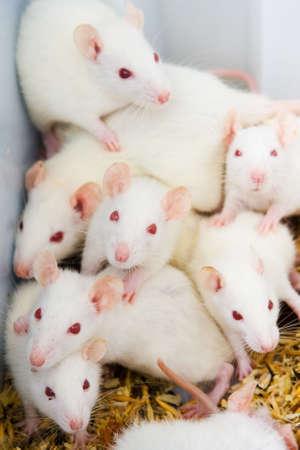 rata: Blanco ratas en el laboratorio listo para los experimentos