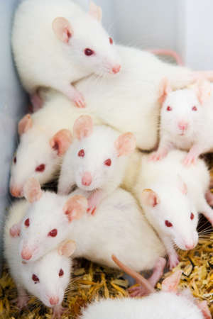 White rats in the lab ready to experiments