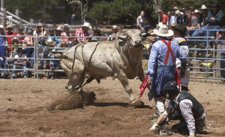 arena rodeo: Angry Bull being distracted as the rider tries to get up
