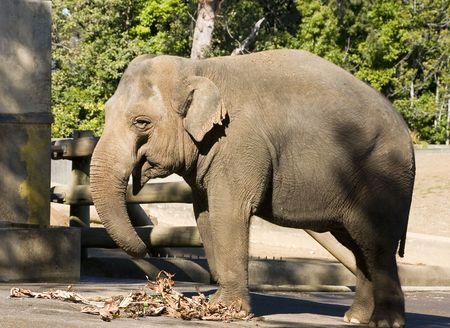 enclosure: Elephant in an enclosure Stock Photo