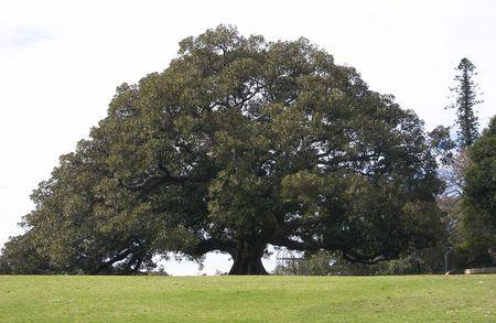 fichi: Moreton Bay fico in un parco