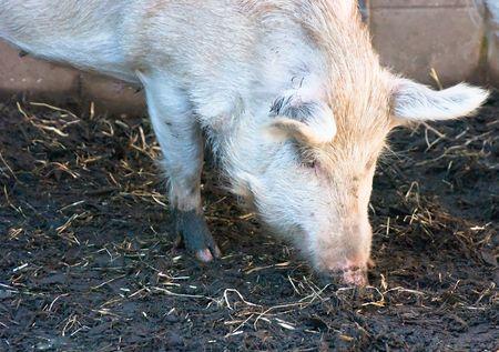 rooting: Pig rooting in the diert