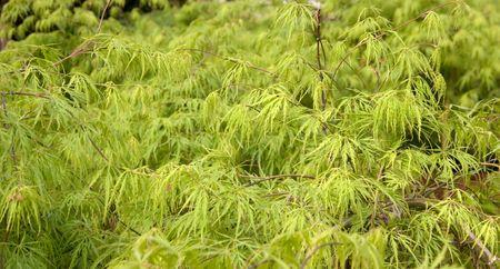 leafed: A green leafed shrub Stock Photo