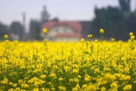 crop margin: yellow field of rape