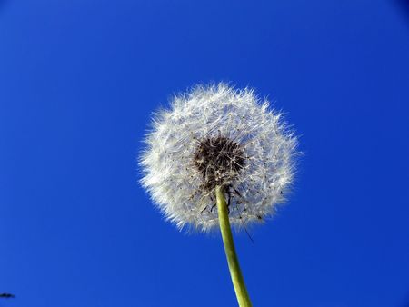 Dandelion on a background of the sky