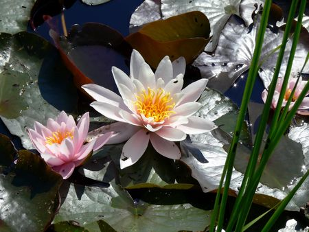 White water lily with reflection and lily pads
