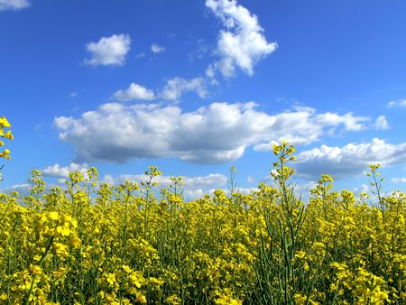 Yellow colza at springtime photo