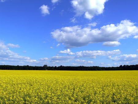 Landscape - yellow field, blue sky, lithuanian landscape, landscape as background Stock Photo
