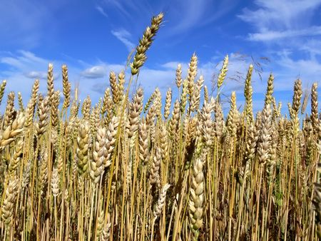 A portrait framing of ripe wheat and clouds.