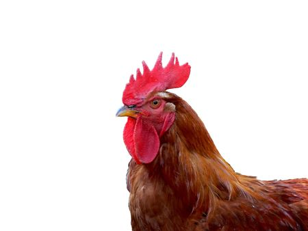 Cock close up isolated on white, horizontal