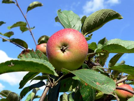 End summer. On appletree ripen red apple