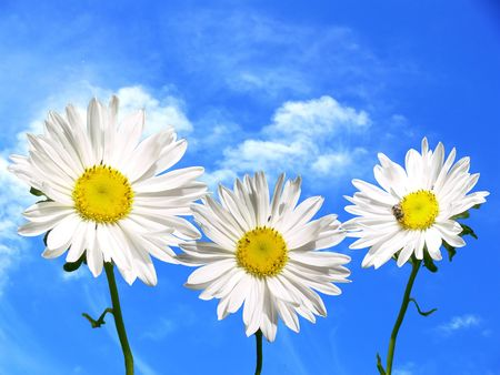 Three marguerite on sky background