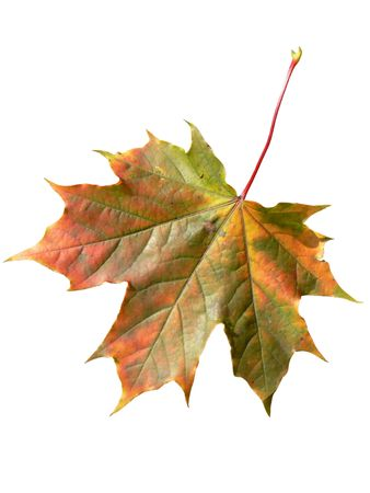 Close-up of a perfect red maple leaf isolated